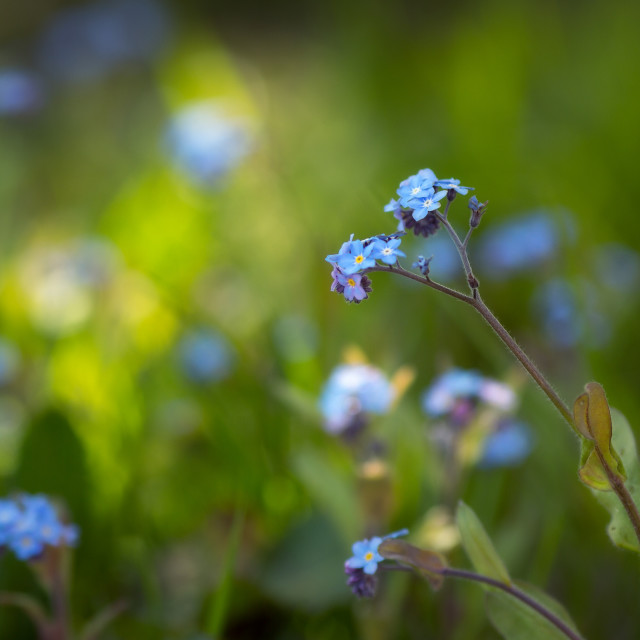 """Forget-me-not - In the shade of the trees"" stock image"