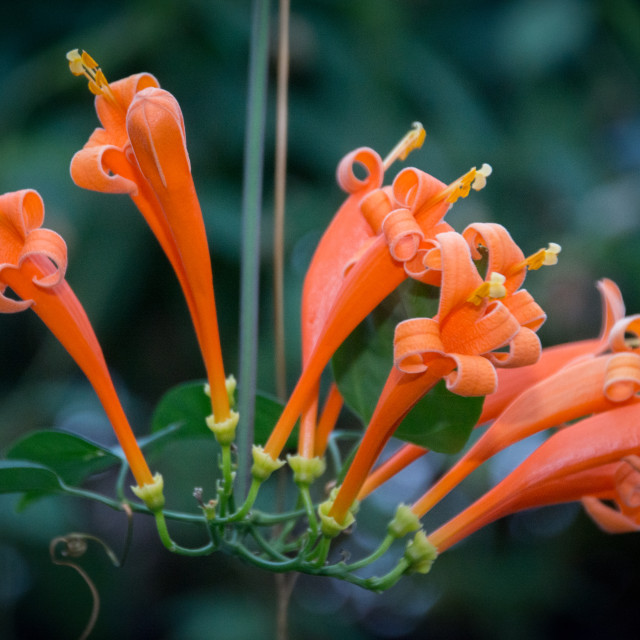 """Orange Trumpet Vine Flower"" stock image"