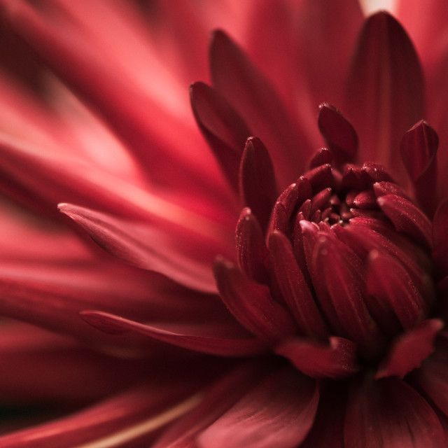 """Red Dahlia"" stock image"