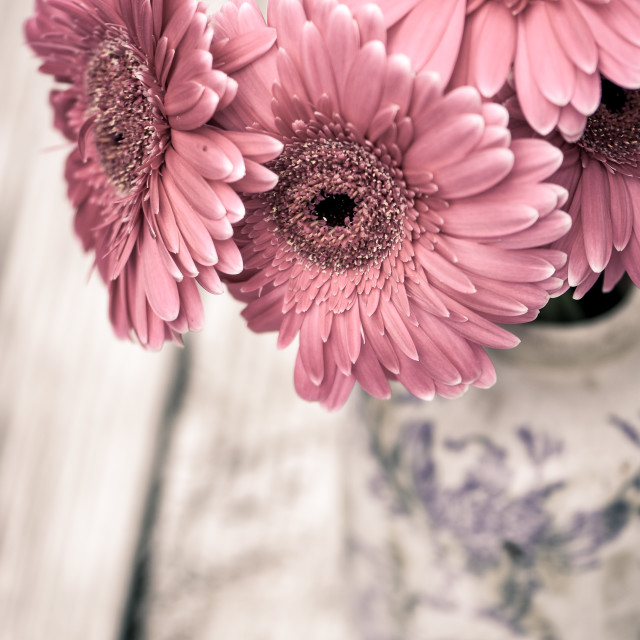 """Pink Gerbera flowers"" stock image"