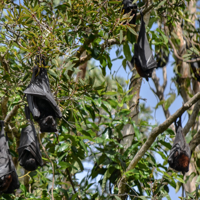 """Flying foxes"" stock image"