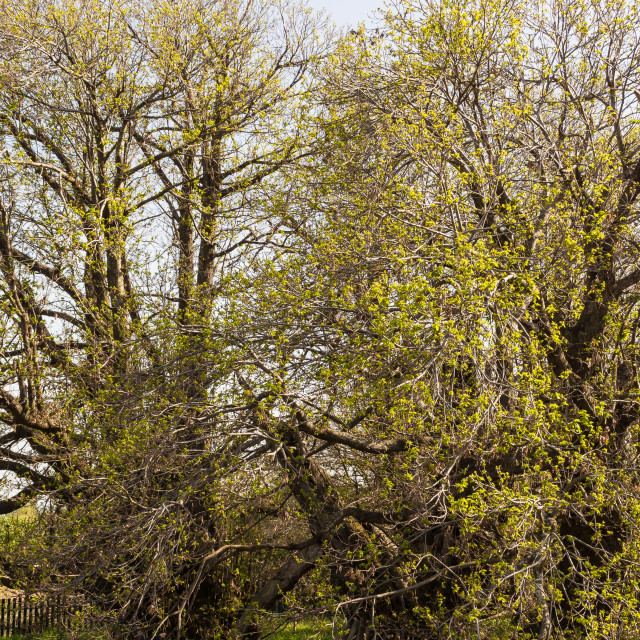 """millennial chestnut tree"" stock image"