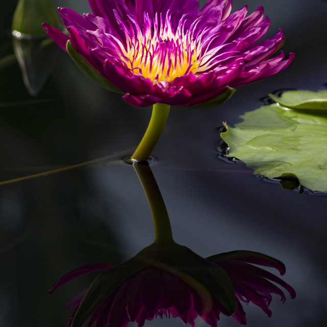 """Water Lily at Kew"" stock image"