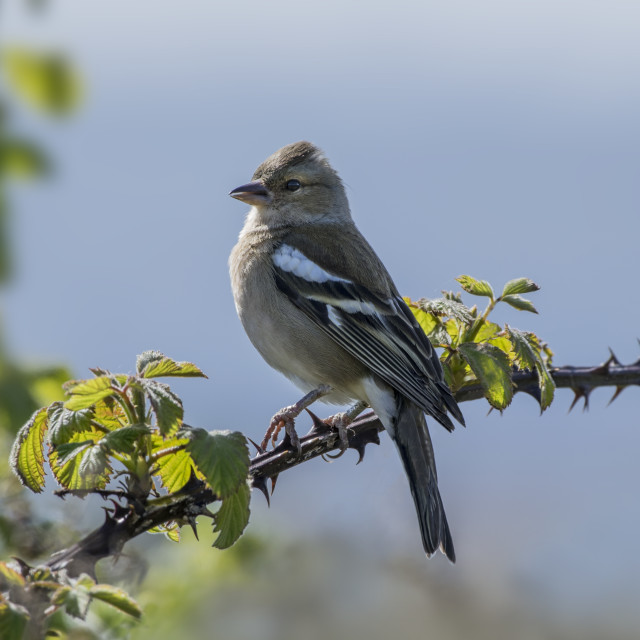 """Chaffinch Perched on Bramble"" stock image"
