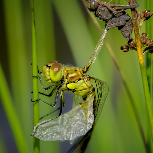 """Dragonfly Emergence"" stock image"