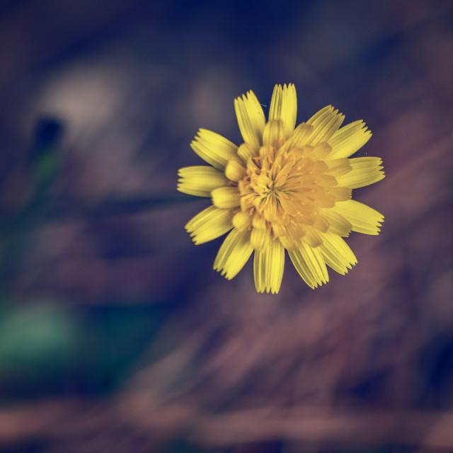 """Yellow weed flower"" stock image"