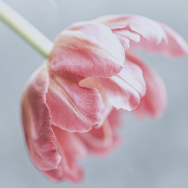 """Single Tulip"" stock image"