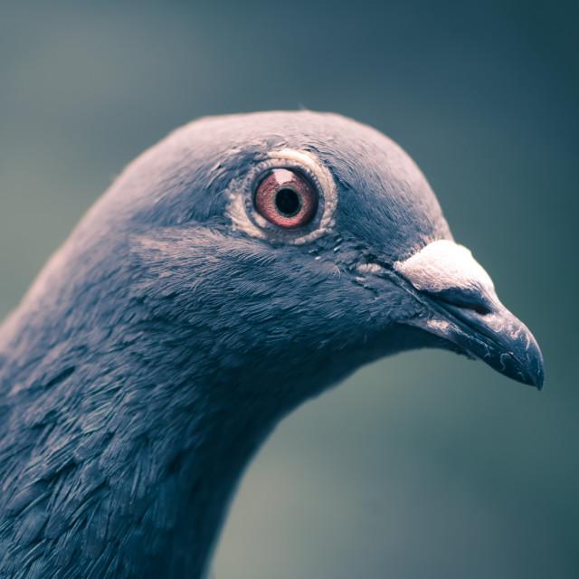 """Pigeon pretty"" stock image"
