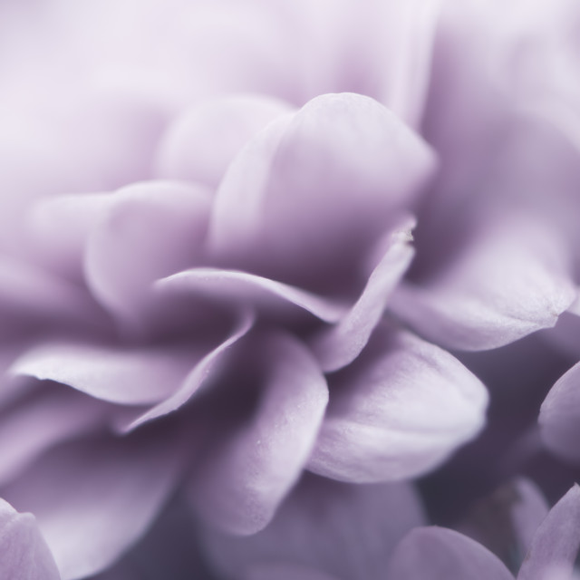 """Purple petals"" stock image"