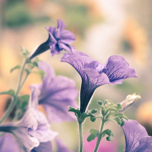 """Petunia Garden"" stock image"
