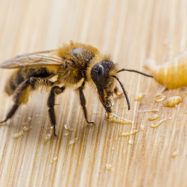 """Macro of Honey Bee with Sticky Legs"" stock image"