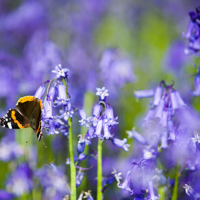 """butterfly & bluebells"" stock image"