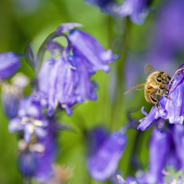 """bluebell bee"" stock image"