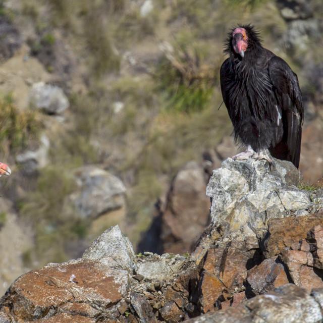 """California Condors"" stock image"