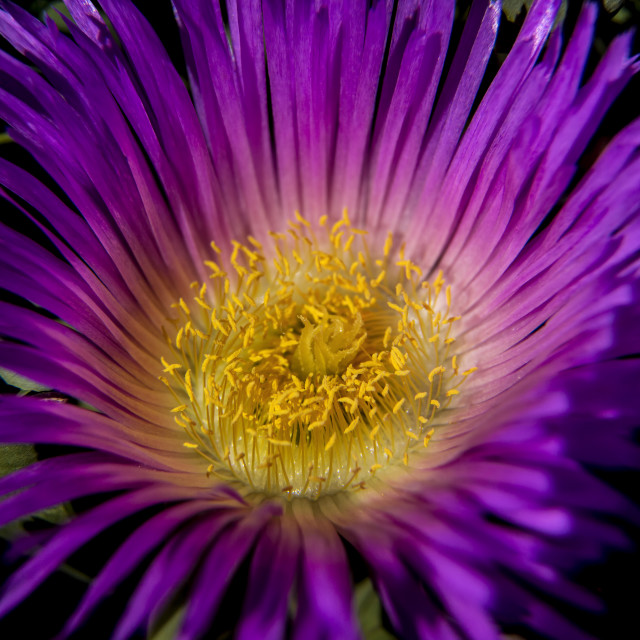 """Ice Plant Flower"" stock image"