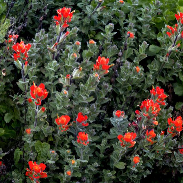 """Monterey Indian Paintbrush Flower"" stock image"