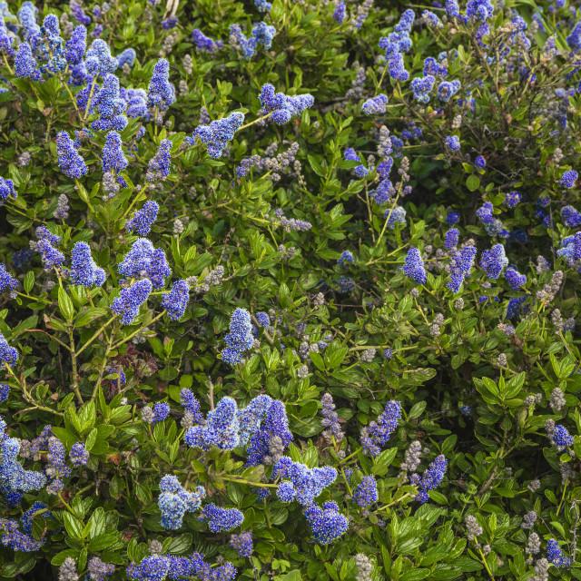 """Ceanothus Concha, California Mountain Lilac"" stock image"