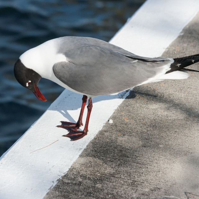 """Laughing Gull checking out his feet"" stock image"