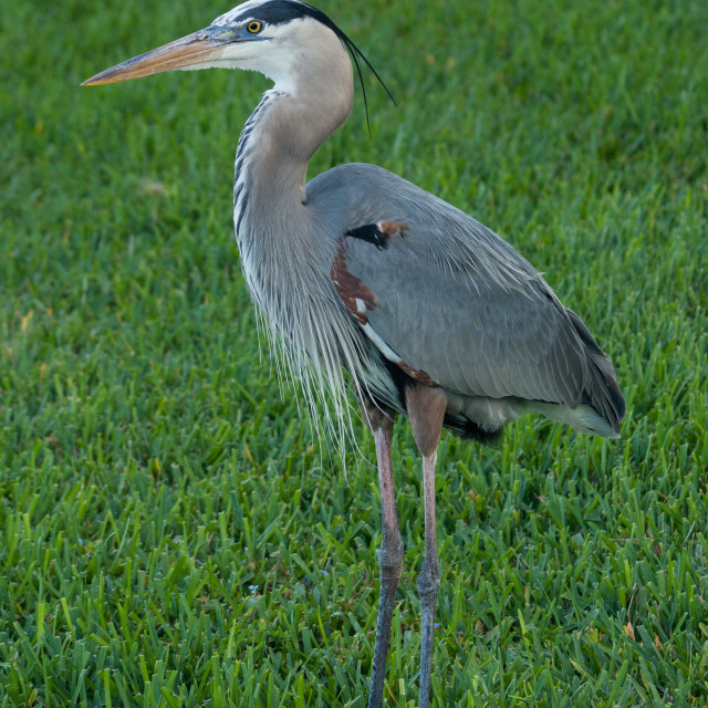 """Great Blue Heron in Grass"" stock image"