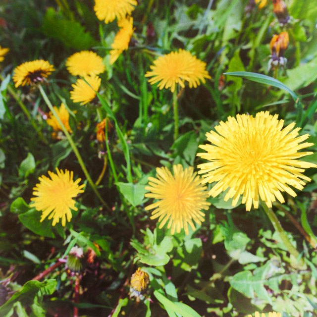 """Old Film Effect of Yellow Dandelion Flowers"" stock image"