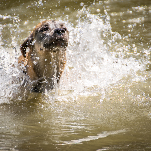 """Dog playing with water in a lake"" stock image"