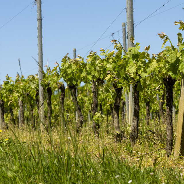 """Vineyard in Bordeaux region"" stock image"