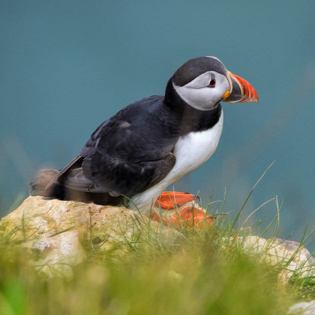 """Puffin on a cliff"" stock image"