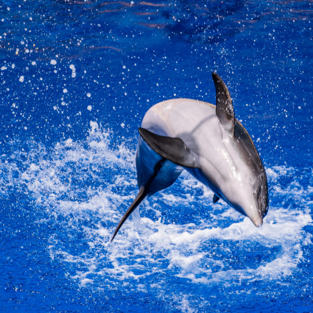 """""""Dolphin jumping into the water"""" stock image"""
