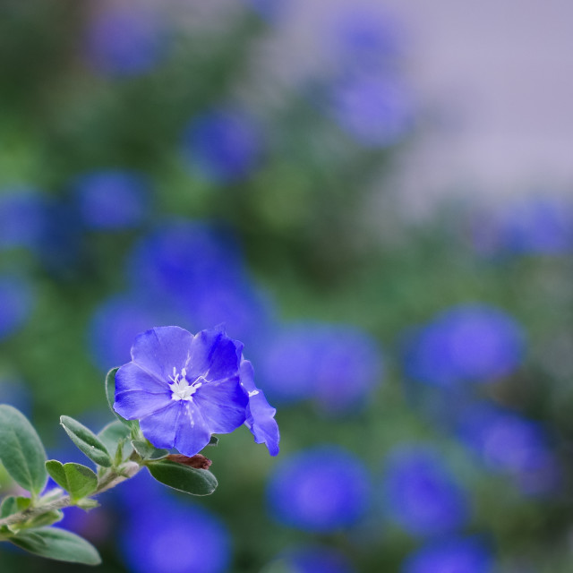 """Dwarf morning glory with blue blurry background"" stock image"