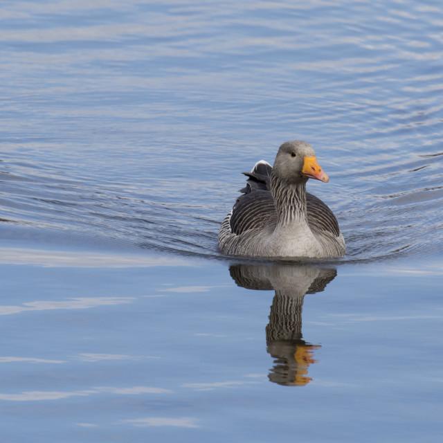 """Greylag Goose"" stock image"