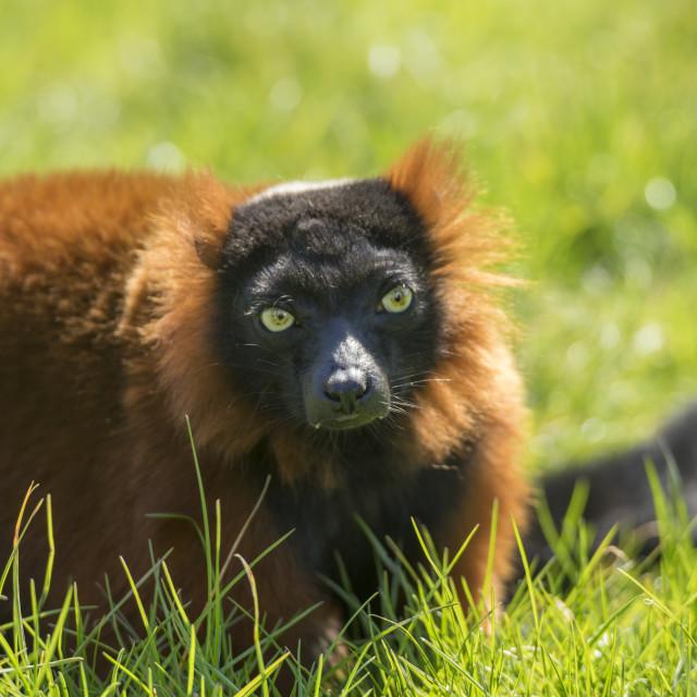 """Red Lemur"" stock image"