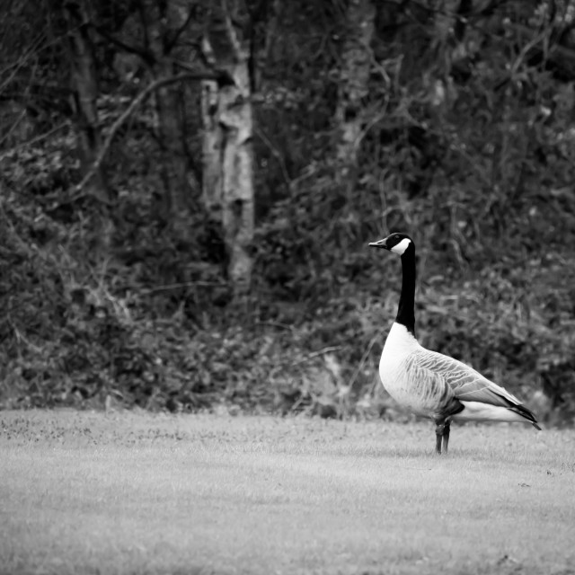 """""""Goose on the Moor"""" stock image"""