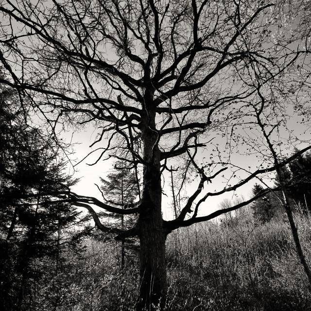 """Nervous Oak"" stock image"