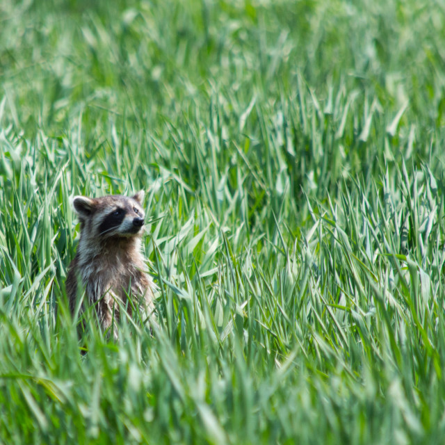 """Curious raccoon popping out of tall grass"" stock image"