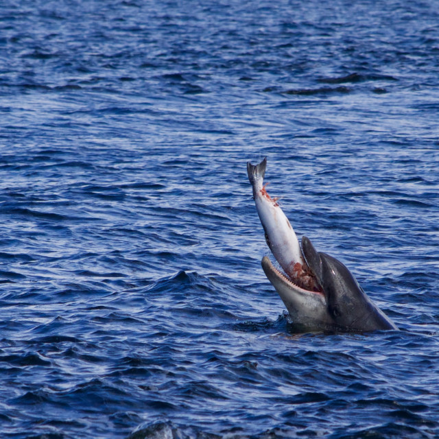 """Bottlenose Dolphin with salmon"" stock image"