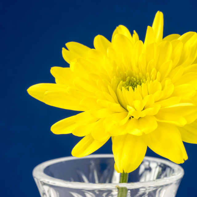 """""""Yellow Chrysanthemum"""" stock image"""