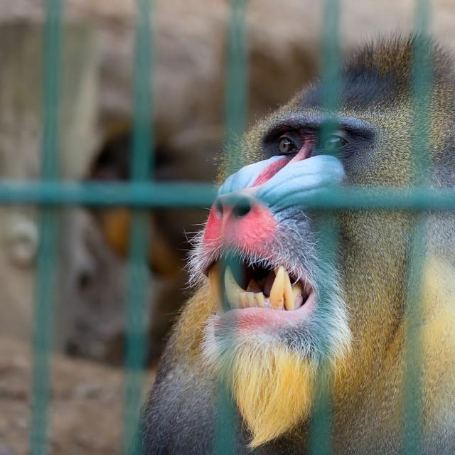 """""""Mandrill monkey in captivity"""" stock image"""