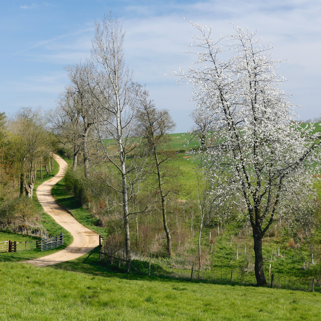 """Meandering Track Through Green Fields with Cherry Blossom"" stock image"