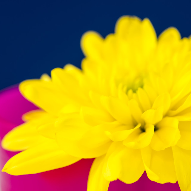 """Yellow Chrysanthemum in a Pink beaker."" stock image"