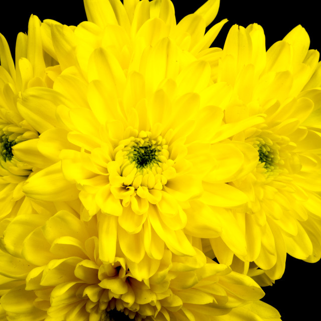 """""""Yellow Chrysanthemums on a black background."""" stock image"""