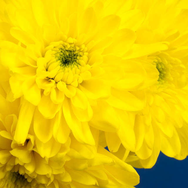 """""""Yellow Chrysanthemums on a blue background."""" stock image"""