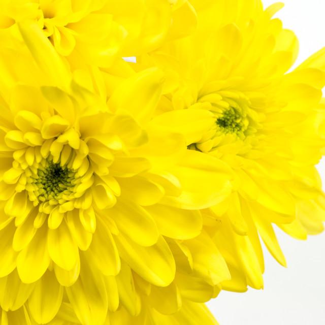 """Yellow Chrysanthemum on a white background."" stock image"