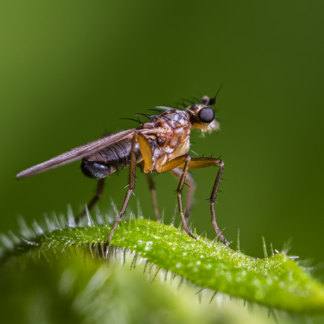 """""""Spear-winged Fly (Lonchoptera lutea)"""" stock image"""