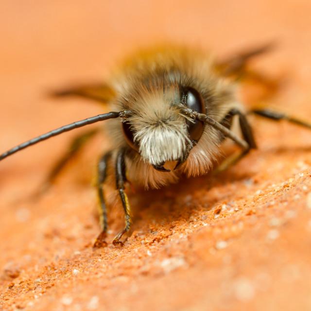 """Red Mason Bee (Osmia bicornis) - male"" stock image"