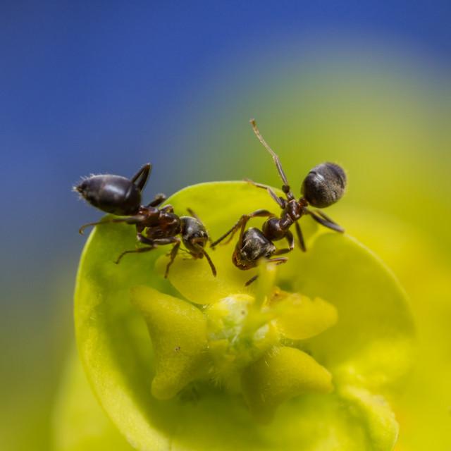 """""""Ants on euphorbia flowers"""" stock image"""