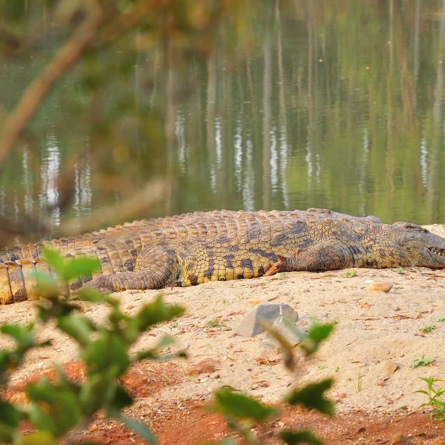 """WCC_1734- Crocodile"" stock image"