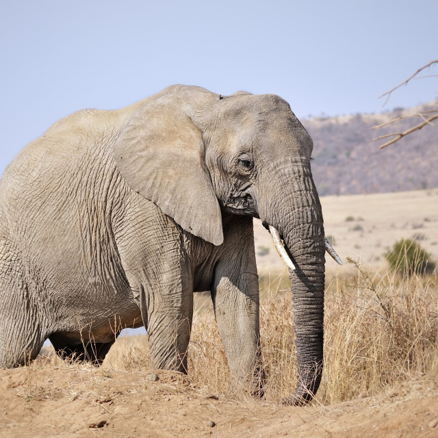 """""""WCC_1350- Young Male Elephant"""" stock image"""