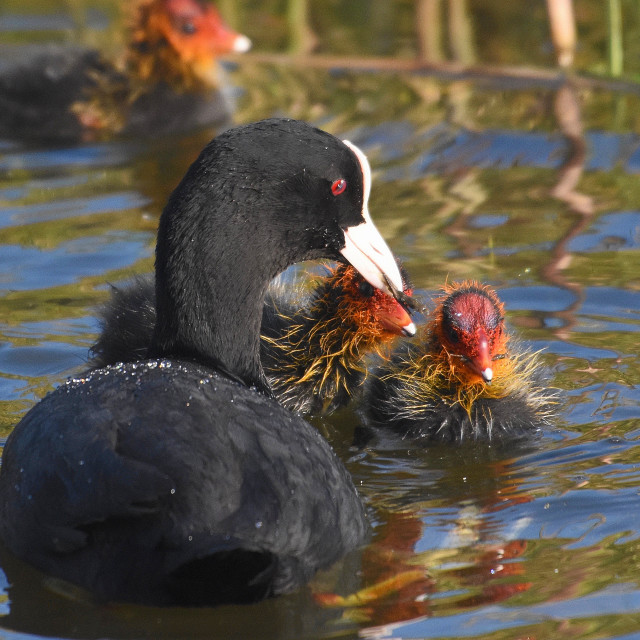 """""""Eurasian coot Feeding her Young"""" stock image"""