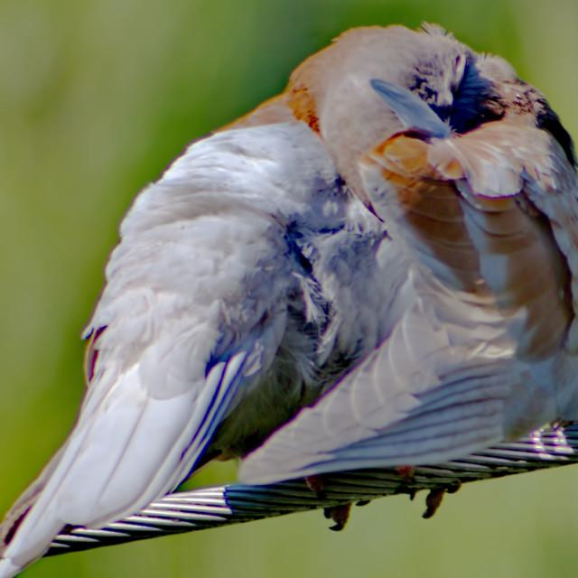 """pigeon resting"" stock image"