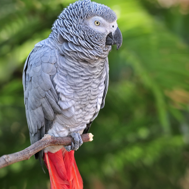 """WCC_0133- African Grey Parrot"" stock image"